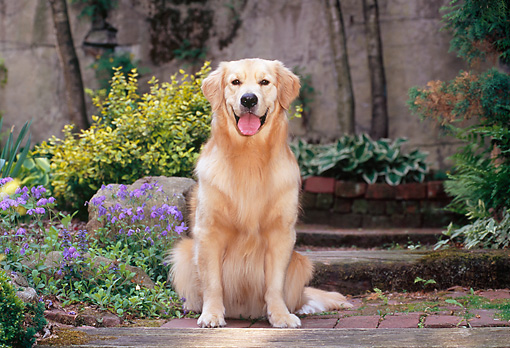 DOG 03 CE0019 01 © Kimball Stock Golden Retriever Sitting In Garden