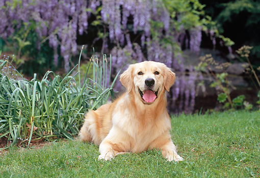 DOG 03 CE0020 01 © Kimball Stock Golden Retriever Laying On Grass By Lavender Flowers