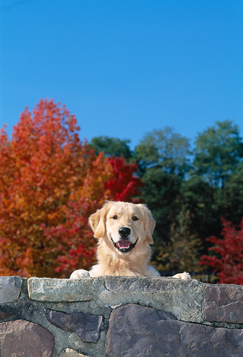 DOG 03 CE0022 01 © Kimball Stock Golden Retriever Looking Over Rock Wall