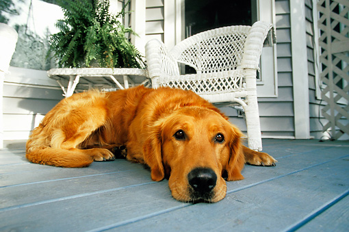 DOG 03 DB0009 01 © Kimball Stock Golden Retriever Laying On Porch