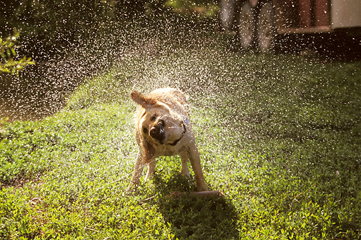 DOG 03 DB0017 01 © Kimball Stock Golden Retriever Shaking Off Water On Grass