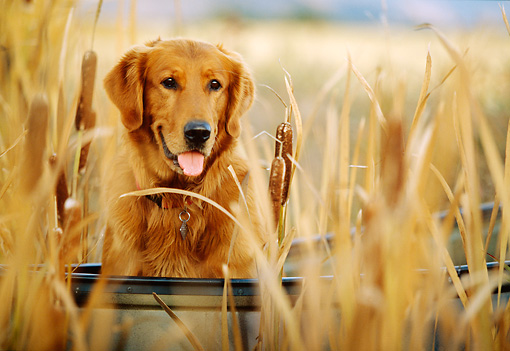 DOG 03 DB0038 01 © Kimball Stock Shoulder Shot Of Golden Retriever Sitting In Boat In Marsh