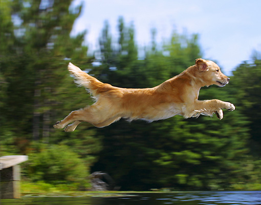 DOG 03 DC0040 01 © Kimball Stock Golden Retriever Leaping Into Lake From Dock