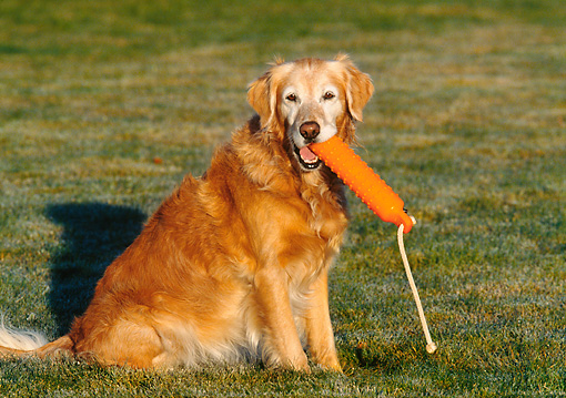 DOG 03 DS0011 01 © Kimball Stock Golden Retriever Sitting In On Grass Holding Orange Dummy In Mouth