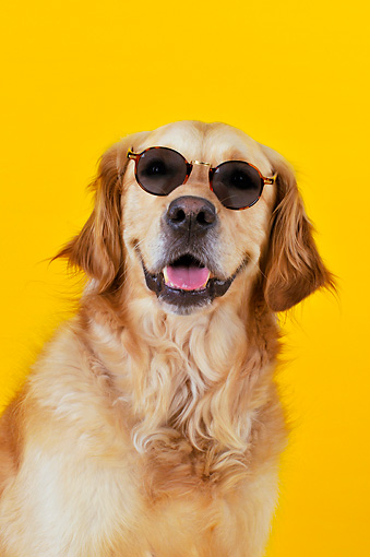 DOG 03 JD0001 01 © Kimball Stock Head Shot Of Golden Retriever Wearing Sunglasses