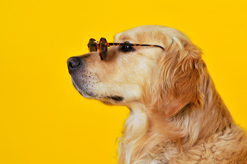 DOG 03 JD0002 01 © Kimball Stock Head Shot Of Golden Retriever Wearing Sunglasses