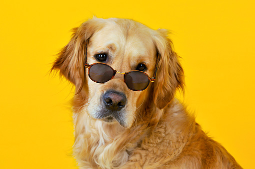 DOG 03 JD0003 01 © Kimball Stock Head Shot Of Golden Retriever Wearing Sunglasses