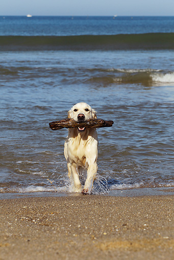 DOG 03 JE0014 01 © Kimball Stock Golden Retriever Retrieving Stick From Ocean