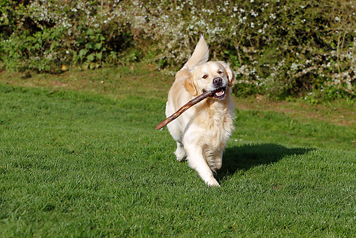 DOG 03 JE0020 01 © Kimball Stock Golden Retriever Running With Stick On Grass Field