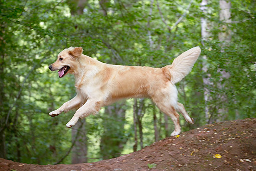 DOG 03 JE0029 01 © Kimball Stock Golden Retriever Leaping From Log In Forest