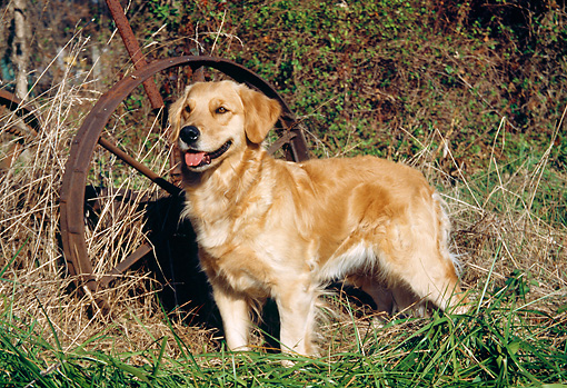 DOG 03 JN0002 01 © Kimball Stock Golden Retriever Standing On Grass By Old Rusty Wheel