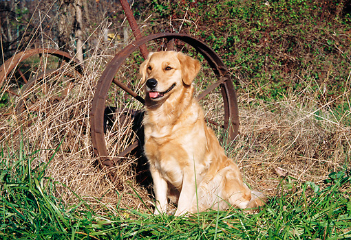 DOG 03 JN0006 01 © Kimball Stock Golden Retriever Sitting On Grass By Old Rusty Wheel