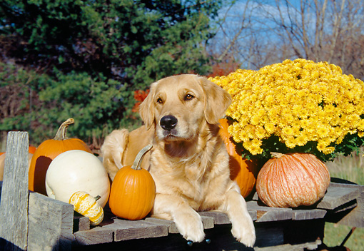 DOG 03 JN0010 01 © Kimball Stock Golden Retriever Laying By Pumpkins And Gold Flowers