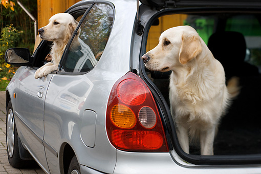 DOG 03 JS0002 01 © Kimball Stock Two Golden Retrievers Sitting Inside Car Waiting