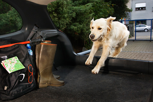 DOG 03 JS0003 01 © Kimball Stock Golden Retriever Jumping into Back Of Car