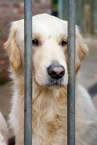 DOG 03 JS0004 01 © Kimball Stock Head Shot Of Golden Retriever Behind Bars