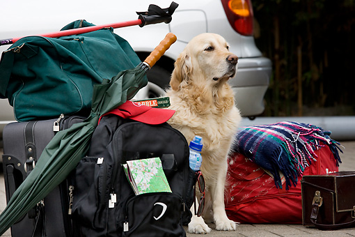 DOG 03 JS0005 01 © Kimball Stock Golden Retriever Sitting With Luggage By Car