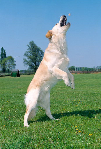 DOG 03 JS0006 01 © Kimball Stock Golden Retriever Jumping On Grass