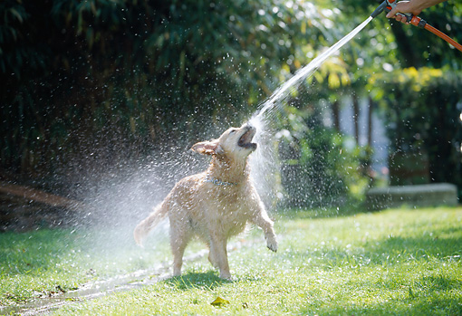 DOG 03 JS0007 01 © Kimball Stock Golden Retriever Standing On Grass Drinking Water From Hose