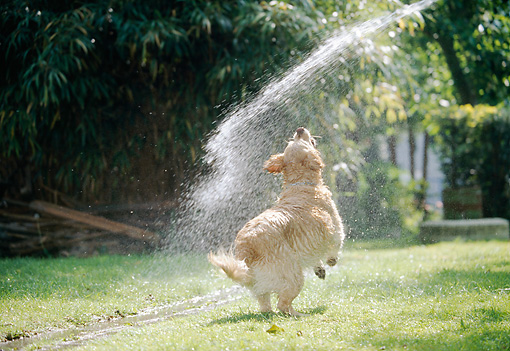 DOG 03 JS0009 01 © Kimball Stock Golden Retriever Drinking Water From Hose