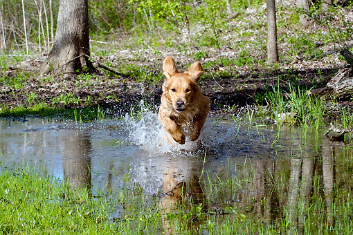 DOG 03 LS0058 01 © Kimball Stock Golden Retriever Jumping Into Puddle