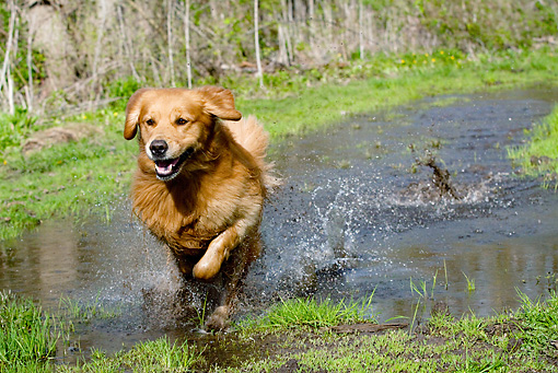 DOG 03 LS0059 01 © Kimball Stock Golden Retriever Running Through Puddle