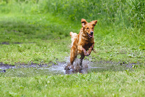 DOG 03 LS0060 01 © Kimball Stock Golden Retriever Running Through Puddle
