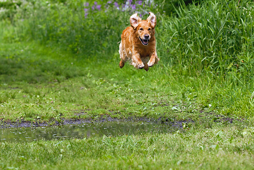 DOG 03 LS0061 01 © Kimball Stock Golden Retriever Jumping Over Puddle