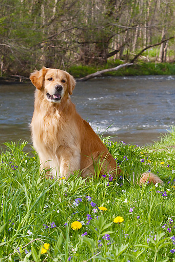 DOG 03 LS0065 01 © Kimball Stock Golden Retriever Sitting On Grass By River