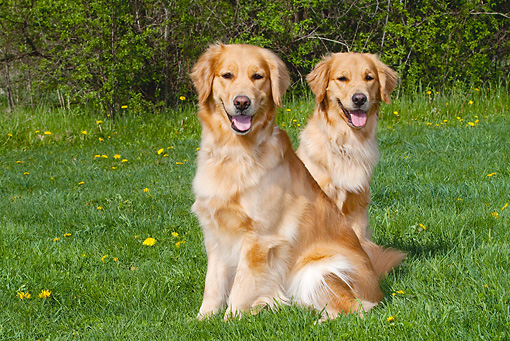 DOG 03 LS0067 01 © Kimball Stock Two Golden Retrievers Sitting On Grass