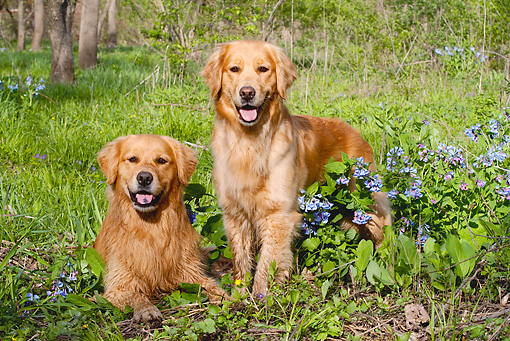 DOG 03 LS0068 01 © Kimball Stock Two Golden Retrievers On Grass With Blue Wildflowers