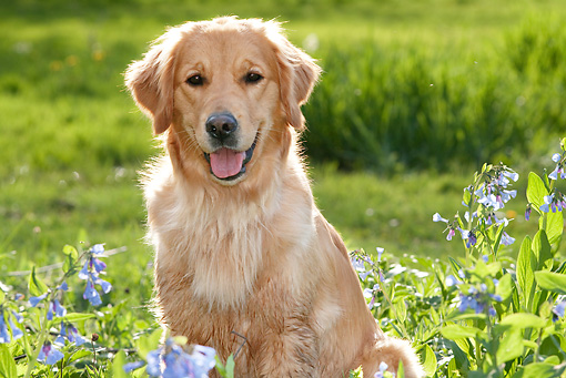 DOG 03 LS0070 01 © Kimball Stock Close-Up Of Golden Retriever Sitting By Blue Wildflowers