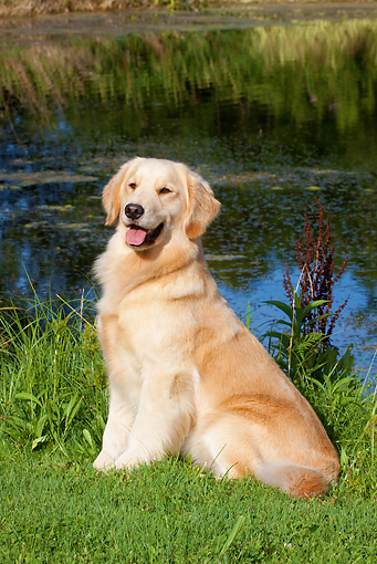 DOG 03 LS0072 01 © Kimball Stock Light Colored Golden Retriever Sitting On Grass By Pond