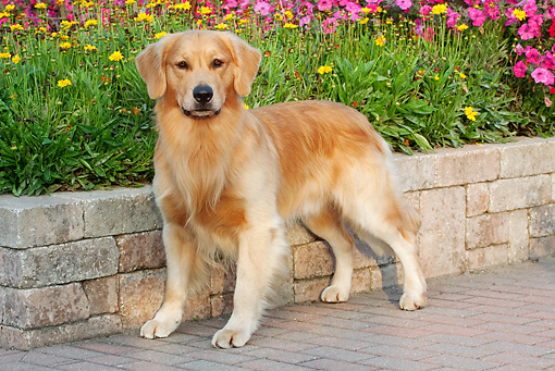 DOG 03 LS0074 01 © Kimball Stock Golden Retriever Standing On Brick Patio By Yellow And Pink Flowers