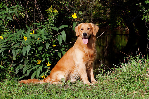 DOG 03 LS0077 01 © Kimball Stock Golden Retriever Sitting On Grassy Bank By Yellow Flowers And Stream