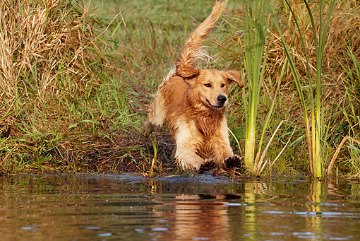 DOG 03 LS0085 01 © Kimball Stock Golden Retriever Jumping Into Stream To Retrieve