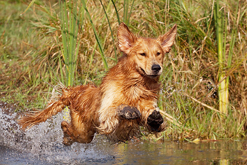 DOG 03 LS0089 01 © Kimball Stock Golden Retriever Jumping Into Stream To Retrieve