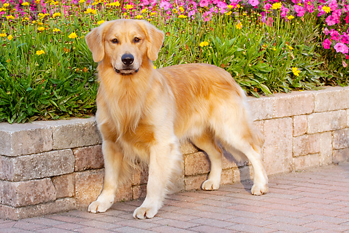 DOG 03 LS0090 01 © Kimball Stock Golden Retriever Standing On Brick Patio By Garden