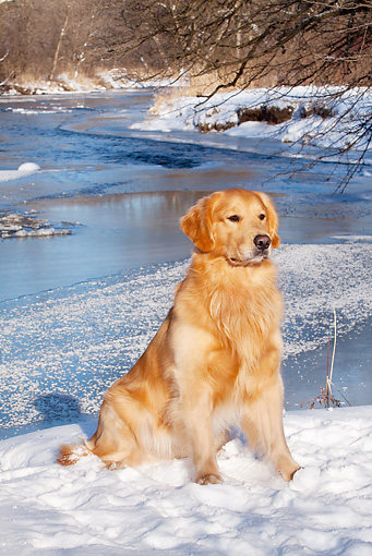 DOG 03 LS0098 01 © Kimball Stock Golden Retriever Sitting On Snow By Stream