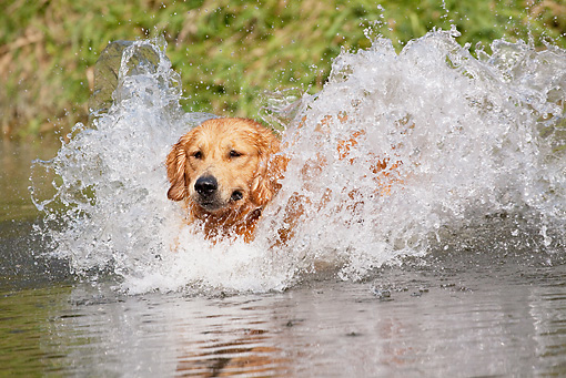 DOG 03 LS0099 01 © Kimball Stock Golden Retriever Jumping Into Stream