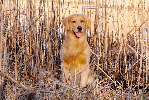 DOG 03 LS0101 01 © Kimball Stock Golden Retriever Sitting Among Cattails At Edge Of Marsh