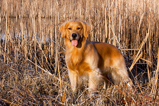 DOG 03 LS0102 01 © Kimball Stock Golden Retriever Standing Among Cattails At Edge Of Marsh