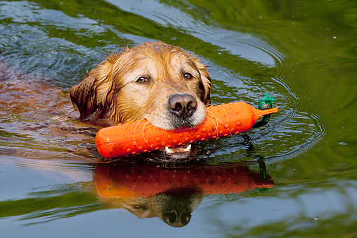 DOG 03 LS0104 01 © Kimball Stock Golden Retriever Swimming With Orange Training Bumper