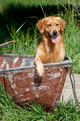 DOG 03 LS0110 01 © Kimball Stock Golden Retriever Sitting In Bow Of Rowboat By Lake