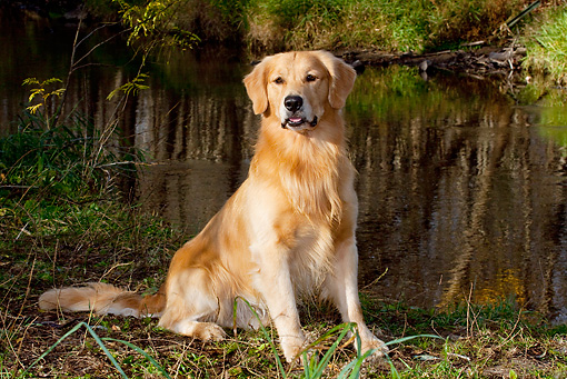 DOG 03 LS0112 01 © Kimball Stock Golden Retriever Sitting By Edge Of Pond