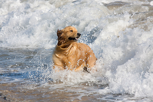 DOG 03 LS0115 01 © Kimball Stock Golden Retriever Running Through Surf Santa Barbara, California