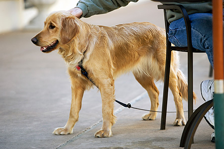 DOG 03 MR0001 01 © Kimball Stock Golden Retriever On Leash Standing On Sidewalk