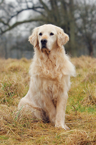 DOG 03 NR0025 01 © Kimball Stock Golden Retriever Sitting In Field