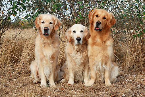 DOG 03 NR0032 01 © Kimball Stock Three Golden Retrievers Sitting On Dry Grass