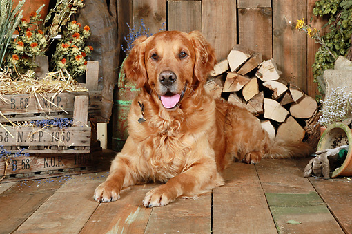 DOG 03 NR0043 01 © Kimball Stock Golden Retriever Laying On Wood Floor By Dried Flowers And Woodpile